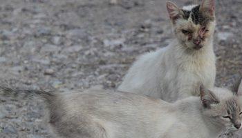 Feral Cat Characteristics In Trap-Neuter-Return Programs