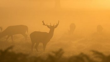 deers standing in an orange misty haze