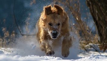 a golden retriever running in the snow