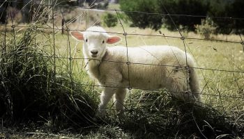 a lamb behind a metal fence in an open field