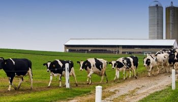 Ohio dairy cows walking away from a factory farm onto a field