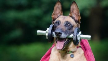 malinois dog holding a dumbell weight in its mouth