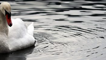 a swan on the water