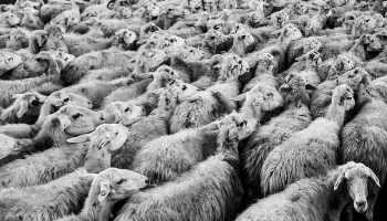 black and white image of a flock of sheep