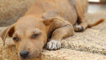 Risk Factors For Unsuccessful Dog Ownership In Taiwan