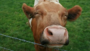 a cow propping its head over a metal fence