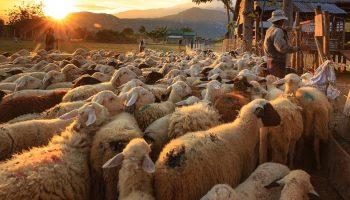 sheep farm in a third world country
