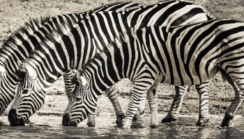 three zebras drinking water in a river