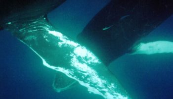 WWF Survey on Attitudes Towards Commercial Whaling in the Caribbean and the Pacific