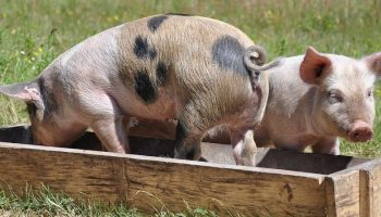 two pigs sitting in the a wooden animal food container