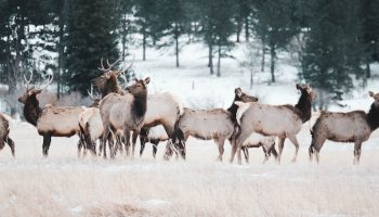 large group of elk in a snowy forest