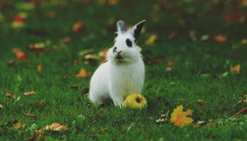 a rabbit eating an apple outside