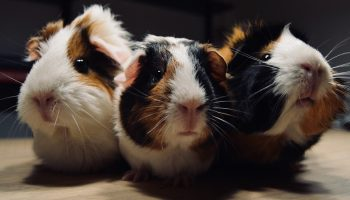 three guinea pigs next to each other
