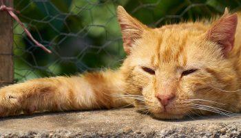 a stray orange cat lying down