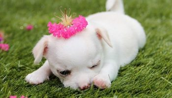 a white baby chihuahua with a flower on its head