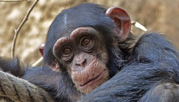 a chimpanzee sitting near some rope