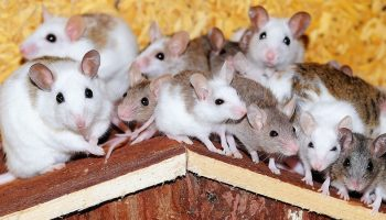 a large crowd of rats squeezing together on top of a rat house