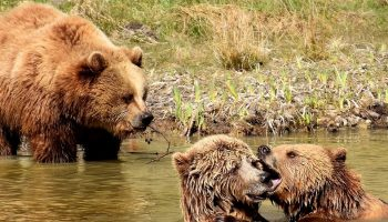 European brown bears in a river