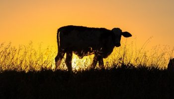 a darkened cow in front of a sunset