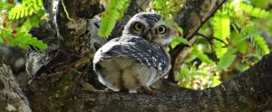 spotted owlet in a tree