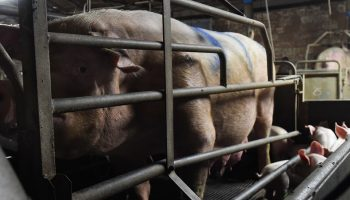 Implications Of Future Ban On Gestation Crates In Michigan