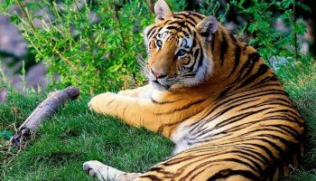 Bengal tiger lying down in grass