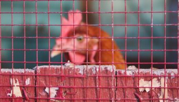 a chicken's head behind a red fence