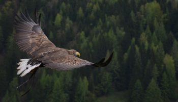 an adler flying over a forest