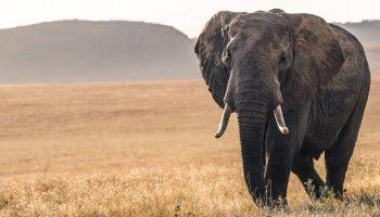 an elephant walking alone in the safari