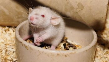 a rat in its food bowl