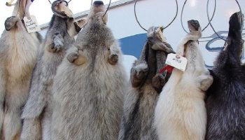 wolf fur coats hung up on a rack