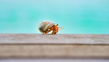 a small crab walking
