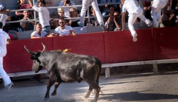 Spaniards running away from a bull