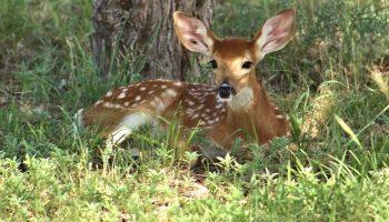 a deer lying down outside