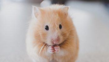a blond mouse