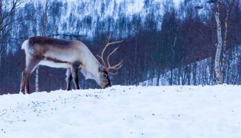 a caribou eating grass in the snowy winter