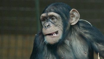 chimpanzee with a gaping mouth sitting alone