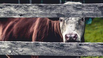 Public Opinion On U.K. Milk Marketing And Dairy Cow Welfare