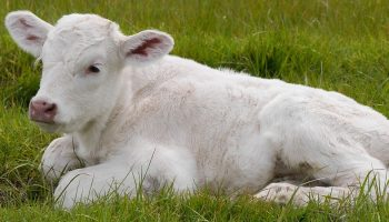 white calf on a pasture
