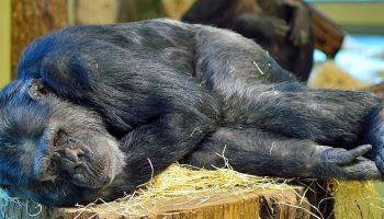 a monkey sleeping on a tree trunk