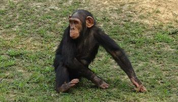 a chimpanzee sitting outside