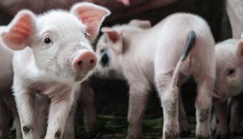 pigs walking around
