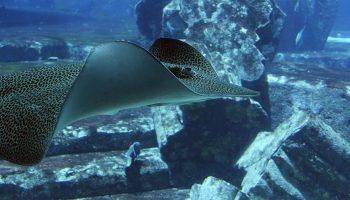 a stingray swimming