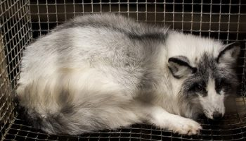 animal used for fur locked in a cage