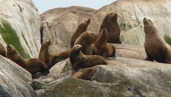 a colony of steller sea lions