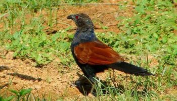 a crow pheasant in the woods