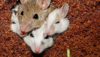 four mice in a cramped house