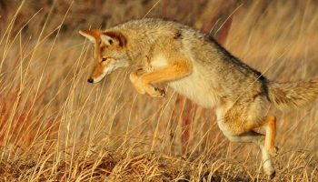 a coyote jumping in the air