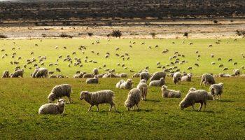 sheep on a farm field