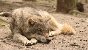 wolf sleeping in the woods